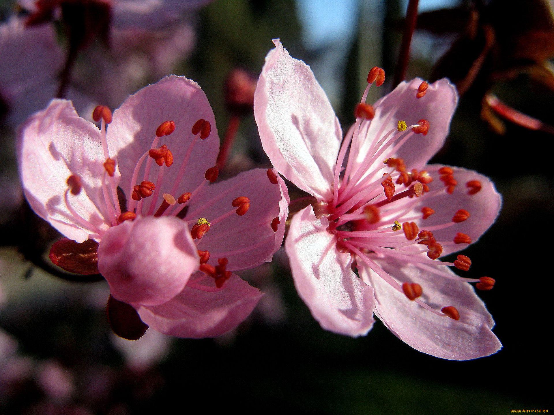 Вишневые цветы фото 7
